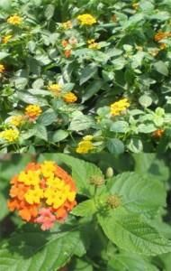 Medicinal Uses of Lantana (crushed leaves help heal cuts). Can be toxic when eaten, though!