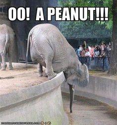 LOL! elephants, peanuts, anim, laugh, stuff, funni, humor, smile, thing