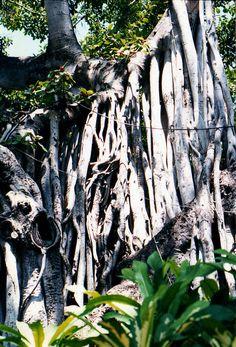 banyan tree. kona, hawaii