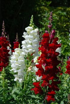 LOVE Snapdragons - have not had any luck with them this year for some reason!!! >( Flore, Pink Flowers, White Flowers, Red Plants, Red Flowers, Color Combinations, White Snapdragon, Snapdragon Flowers, Garden