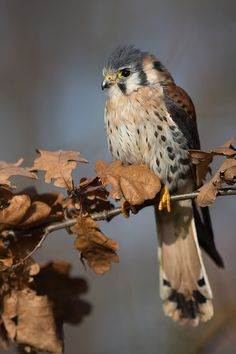 Falco Sparverius  Copyright Milan Zygmunt, via 500px animals, feather friend, dreams, american kestrel, hawks, gifts, falcons, beauty, birds