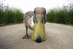 hello, bird, quack, funni, ducks, ador anim, curious duck, animal, photographi