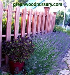 Munstead lavender plants make a beautiful evergreen hedge. $19.95 for 3 plants. flowering plants, lavend hedg