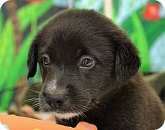 Searcy, AR - Labrador Retriever/Husky Mix. Meet Bentley, a puppy for adoption. http://www.adoptapet.com/pet/11419827-searcy-arkansas-labrador-retriever-mix