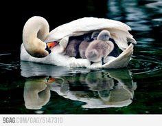 an actual swan boat...