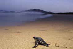leatherback turtl, tortois, sea turtles