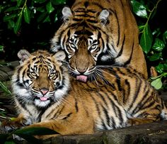 Mother & daughter Tiger (EXPLORE) | Flickr