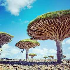 Someone needs to place a geocache here! Incredible Dragon Blood Trees found on Socotra Island, Yemen. Source: http://instagram.com/patagonia
