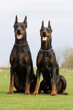 two+black+dobermans   two dobermans 7 2
