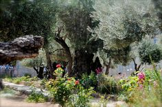 """The garden at Gethsemane, literally """"oil-press,"""" is located on a slope of the Mount of Olives just across the Kidron Valley from Jerusalem. A garden of ancient olive trees stands there to this day."""