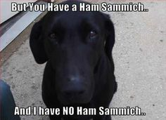 anim, dogs, hams, sandwich, puppy dog eyes, funni, puppi, black labs, ham sammich