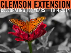 Butterfly in the South Carolina Botanical Garden at Clemson University. Photographer: Peter Tögel #ClemsonExt100