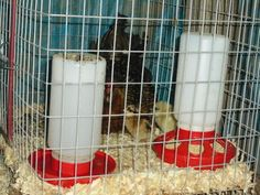 Guide to Letting Broody Hens Hatch and Raise Chicks - BackYard Chickens Community