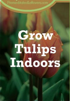 Love tulips? Learn how to grow them inside without all the hassle.
