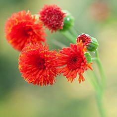 Tassel Flower: Best of the 2011 Organic Gardening Test Garden
