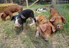 pigs at hillside!