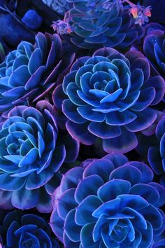 plant, blue succul, blue flowers, color, purple flowers