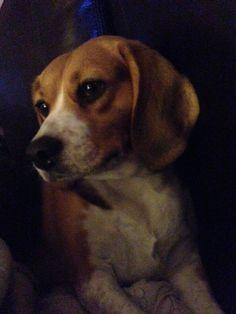The perfect beagle: Khloe