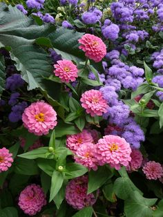 pinner says: pink zinnias and purple ageratum...I have these in my yard and the effect is amazing. They are easy self sow annuals!