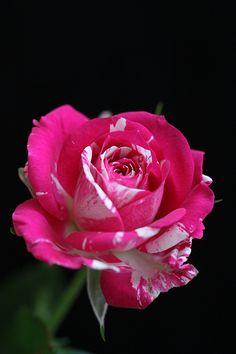 So Beautiful Rose!