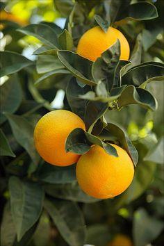 Oranges by save our citrus