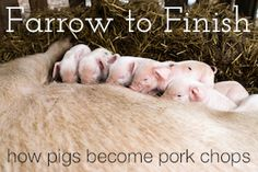 How to Raise Pigs in Your Backyard