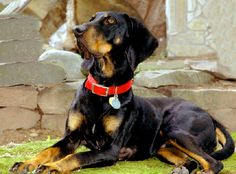 AB AVAILABLE COONHOUNDS AND BLOODHOUNDS - WATSON11