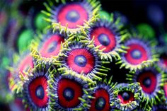 Photos macro de coraux d'aquariums