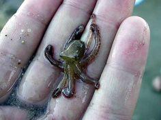 Baby octopus!