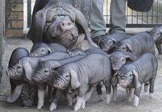Meishan pigs     #china #animal #nature #chinese