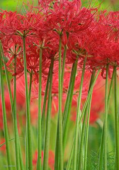 "Red spider lilies - it's a surprise lily. The small leaves die down in the spring and then in the fall the 15"" tall flower spikes emerge."