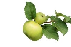 Types of Apple Trees
