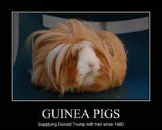 Guinea Wigs!