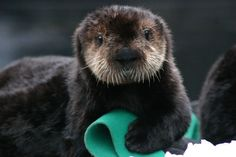 Rescued otter pup number 572.