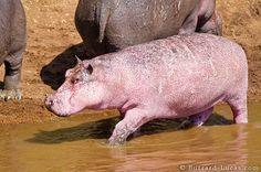 Baby Pink Hippo by burrard-lucas #Pink_Hippo #burrard_lucas