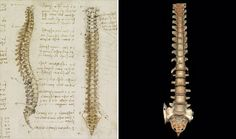 The spinal column shown here is thought to be the first accurate depiction in history - da Vinci, 1489. [drawings on display in the Queen's Gallery, Buckingham Palace]