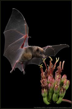 """Mexican Long-nosed Bat"" by Paul Bratescu, via 500px."