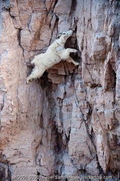 Mountain goat reaching for a salt lick. Photo by Joel Sartore