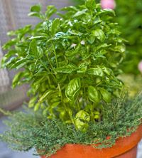 green thumb, container herb garden, gardens, herbs garden, chives, basil, grow herb, container gardening, the roots