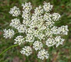 Edible Wild Plants: Wild Carrot (Daucus Carota)