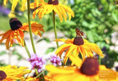 Butterfly on yellow flower France.jpg