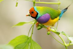 Lady Gouldian Finch... this is the first time I have ever seen one of these beautiful birds.