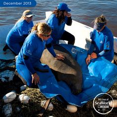 This gentle giant, a sub-adult female manatee, received round-the-clock care from the SeaWorld Rescue Team. #365DaysOfRescue