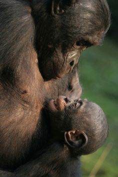 Chimpanzee with infant...