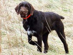 Cesky Fousek  (Bohemian Wirehaired Pointing Griffon) (Czech Coarsehaired Pointer) (Slovakian Wirehaired Pointer) (Rough-coated Bohemian Pointer)