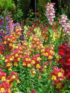 #Mazzelshop-- #Inspiratie #Decorations #Rainbow #Flowers #Garden #Backyard #Decoratie #Regenboog #Kleurrijk #Tuin #Home Snap dragons.