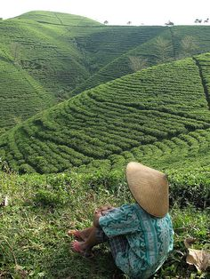 China tea farming