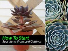How To Start Succulents From Leaf Cuttings