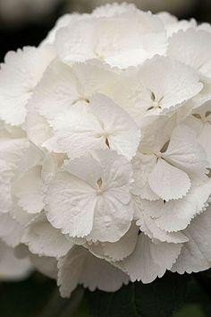 Hydrangea macrophylla 'Snowball'- Flickr - Photo Sharing!