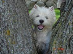 tree hugger westie